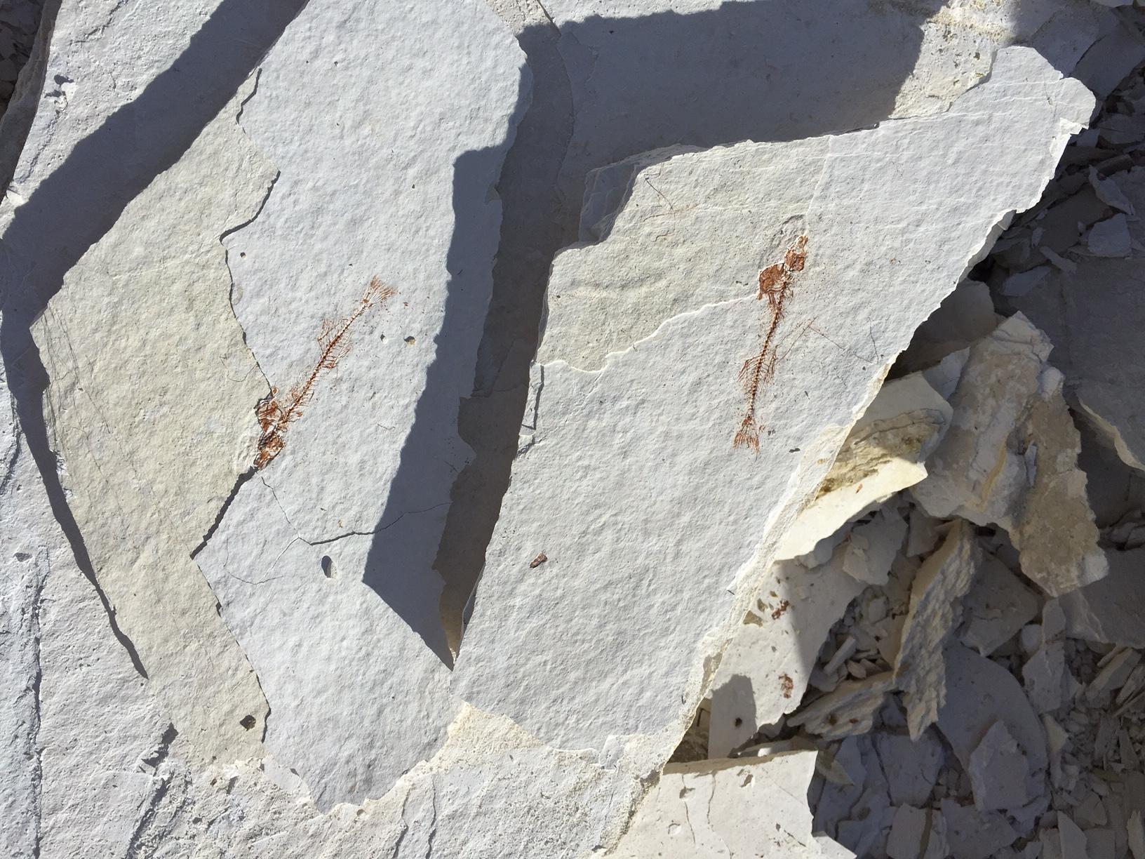 10 million year old Stickleback fish